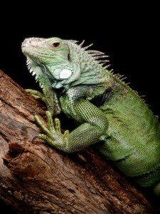 green-iguana