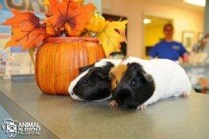 guinea pigs tampa animal hospital