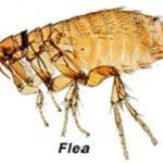 Flea Allergy in Cats
